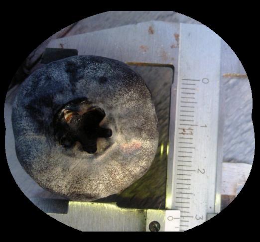 直径約2.8センチのブルーベリー